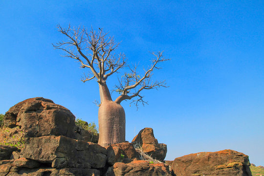 Boab tree in the Kimberley region of Western Australia.