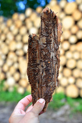 Hand holding spruce bark infested with bark beetles (Ips Typographus) at the background wooden logs.
