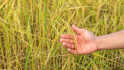 A field of an ear rice plant in Thailand.