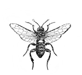 Illustration of wasp in the old book Encyclopedic dictionary by A. Granat, vol. 6, S. Petersburg, 1894