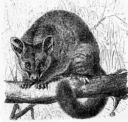 Couscous foxin the old book Encyclopedic dictionary by A. Granat, vol. 8, S. Petersburg, 1903