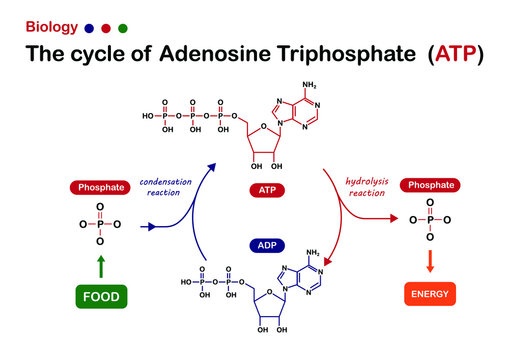 Biology diagram show Adenosine triphosphate (ATP) cycle for energy production in cell
