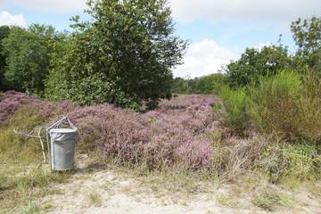 Dune landscape. Dutch dunes in North Holland near the tourist village of Bergen. Summer with flowering heather (Calluna vulgaris) and waste receptacle. August