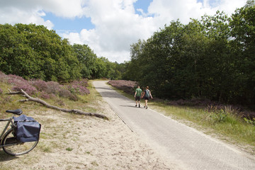Dune landscape. Bike path with hikers in the Dutch dunes in North Holland near the tourist village of Bergen. Summer with flowering heather (Calluna vulgaris). August