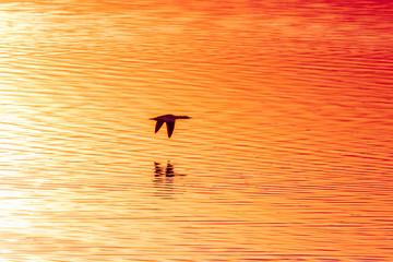 Fototapeta Nurogęś Mergus merganser w locie nad wodą obraz