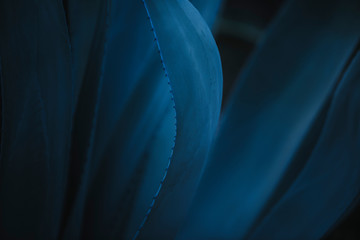 Closeup of beautiful delicate blue Agave americana plant with curvy leaves and small thorns