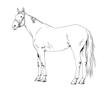 race horse without a harness drawn in ink by hand on background in full length