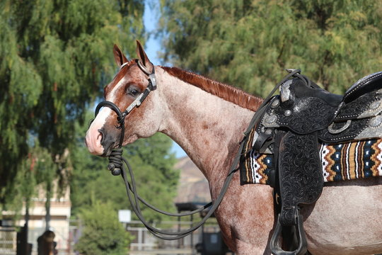 Red Roan stallion