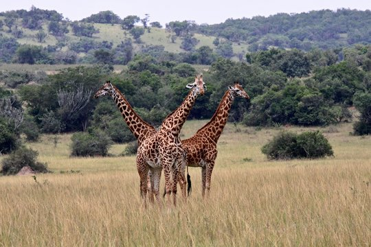 Giraffe  ( Giraffa Camelopardalis).  Akagera National Park. Rwanda. Africa.