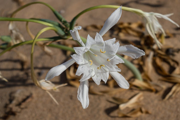 Flower, in the dunes of the beach, called Pancratium Maritimum, and known as sea lily
