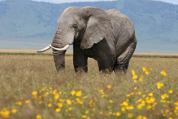 The African bush elephant Papier Peint