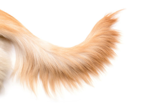 Brown dog tail (Golden Retriever) isolated on white background. Top view with copy space for text or design