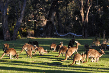 Many kangaroos feeding in a grassy park