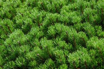 Closeup of evergreen pine shrub as a nature background