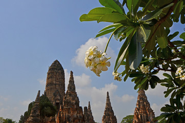 White flowers and green leaves of plumeria tree with old pagoda background