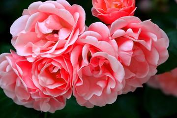 Fototapeta Piękne róże kwitnące na krzewie w ogrodzie botanicznym obraz