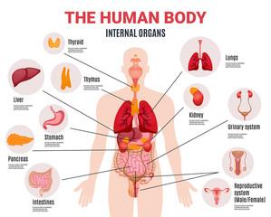Human Internal Organs Infographic Poster