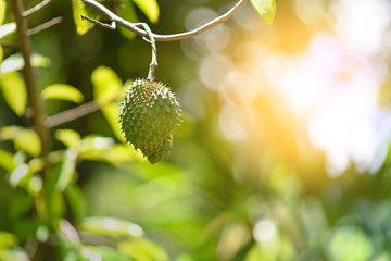 Soursop fruit on the tree, selective focus, with sunlight.