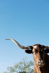 Wall Mural - Texas Longhorn cow portrait with copy space on blue sky background, horned animal close up in vertical view.