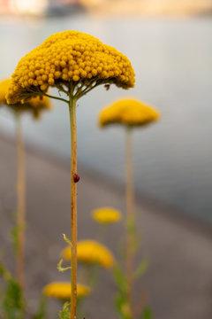Vertical shot of a yellow yarrow achillea flower