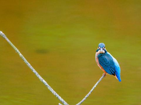 湿原のカワセミ(横)7