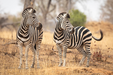 Two zebra looking to one side standing in dry winter bush in Kruger Park South Africa