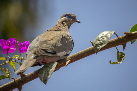Closeup shot of a white-winged dove on a branch of a tree