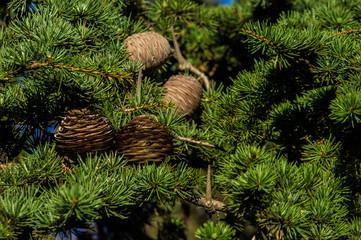 szyszki drzewo zieleń natura przyroda igły