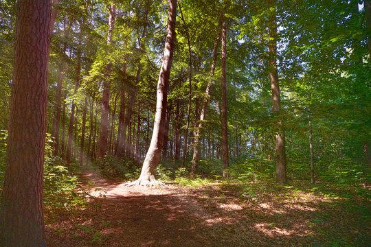 sonnenbeschienener einzelner Baum im Wald
