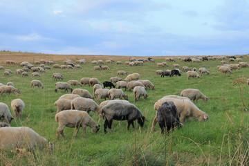 Fototapeta Owce na hali obraz