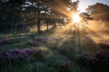 sunbeams at sunrise in misty forest with heather