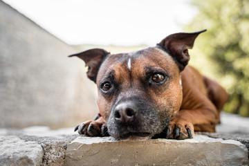sad staffordshire bull terrier