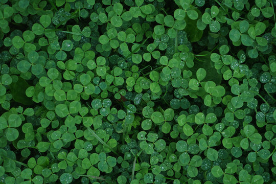 Green clover carpet with dew drops, top view. Natural background.