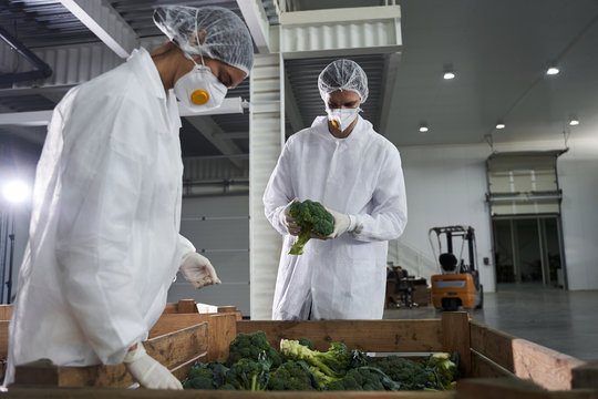 Two concentrated young Caucasian employees inspecting vegetables