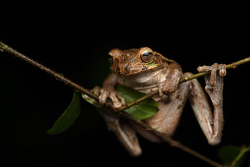 Common Mexican tree frog on branch black background