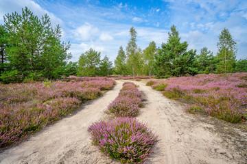 Krajobraz z wrzosami, wrzosowisko w Polsce