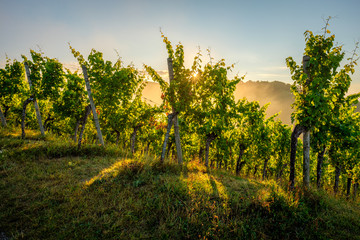 Sunrise with sunstar in a vineyard