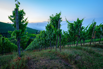 Vineyard in dawn with morning mist fog