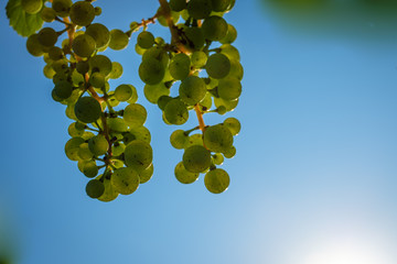 Green riesling grapes with blue sky