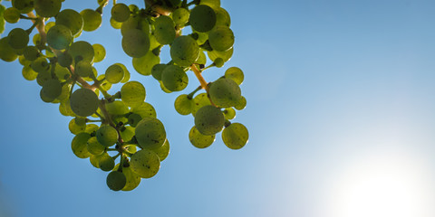 Green riesling white wine grapes with blue sky in summer