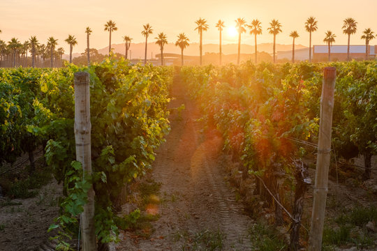 Vineyard during sunrise with palm trees