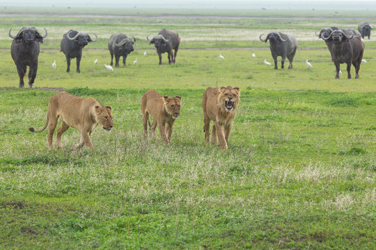 Cape Buffalo iand lions n Tanzania Africa