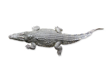 Foto auf Acrylglas Crocodile Crocodile isolated on white background