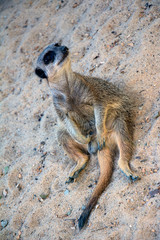 meerkat on the lookout