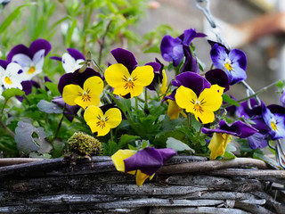 Wall Murals Pansies close up of small pansy flowers growing in a wicker hanging basket