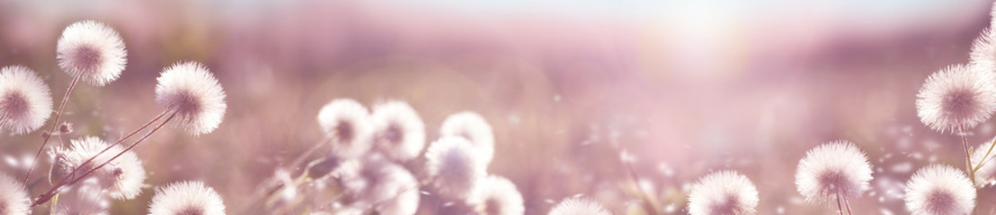 Blurred natural background. Delicate natural background in pastel colors with a soft pink accent. Flowers with fluffy seeds.