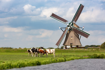 5 cows in a grass pasture in front of a historical Akkersloot windmill in the South-Holland village of Oud Ade the Netherlands.