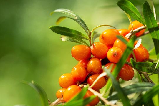 branch of ripe sea buckthorn berries