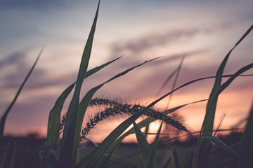 Detail of field grass set against the sky at dusk. Shallow depth of field. Blurred purple orange clouds with hues of blue sky. Macro photography.