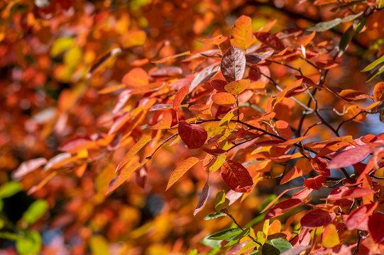 amelanchier lamarckii shadbush autumnal shrub branches full of beautiful red orange yellow leaves
